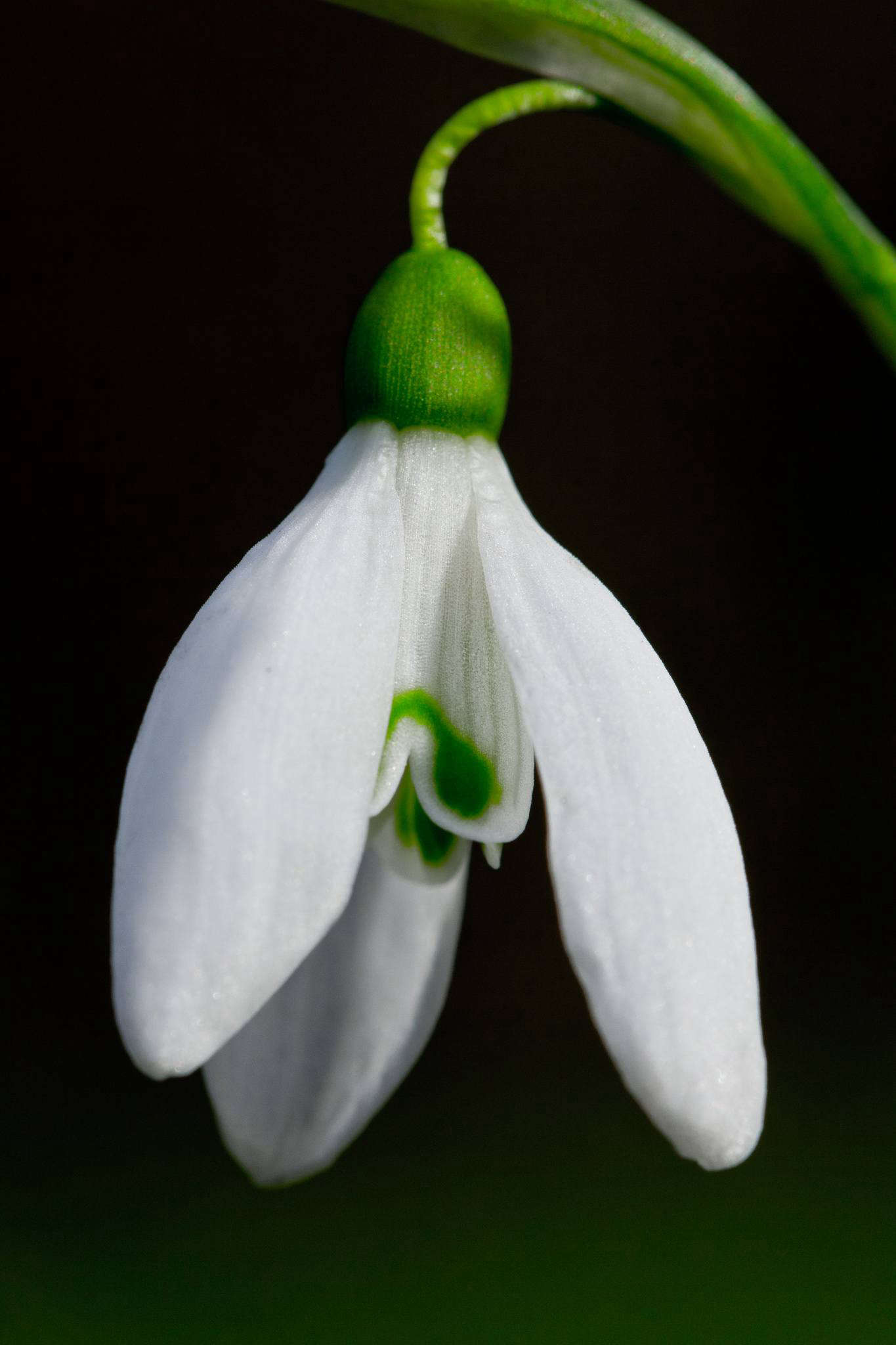 Galanthus snowdrop by Markus Grossalber via Flickr.