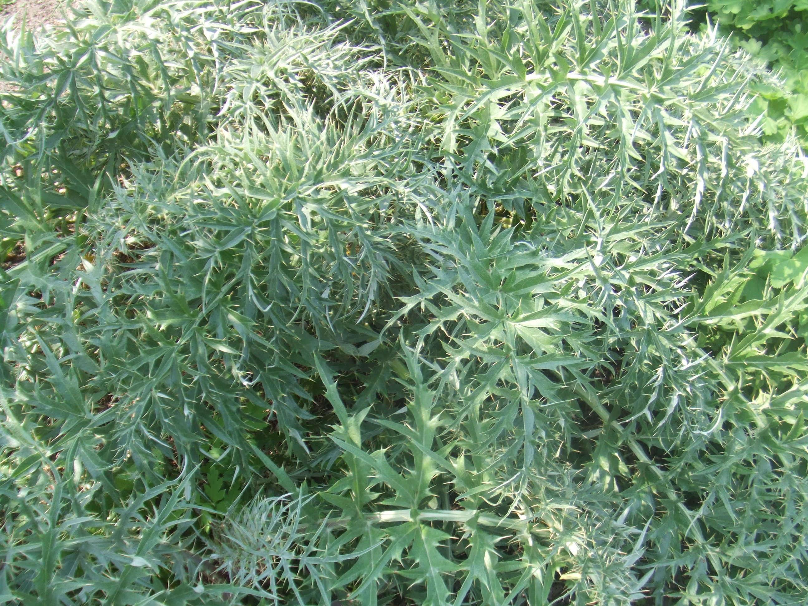 cynara-cardunculus-leaves-globe-artichoke-hans-b-wikimedia