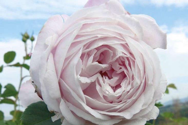 Climbing rose Marie Dermar for sale from Roseraie Ducher