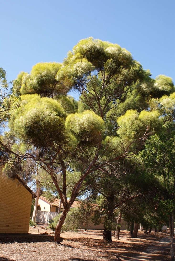 Eucalyptus spathulata. Photograph by Sydney Oats via Flickr.