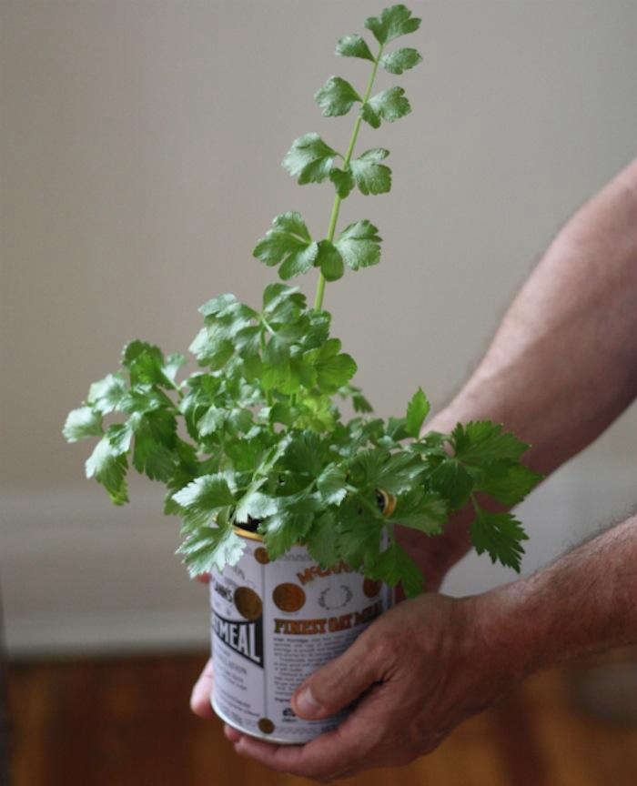 A science experiment and gardening project in one DIY: Grow a celery plant from the root. Photograph courtesy of  Apart, from DIY: An Easy Way to Grow Celery from Its Root.