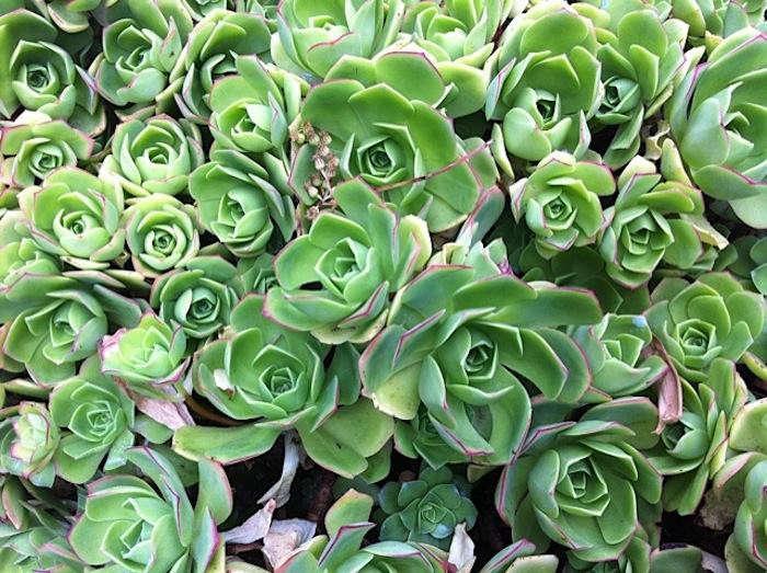 700_succulents-at-big-sur-jpeg-700x523