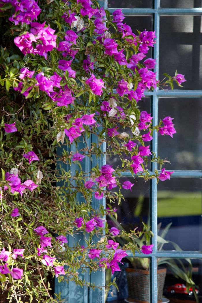 Photograph by Marla Aufmuth for Gardenista. (See Gardening \10\1: Bougainvillea for care info.)
