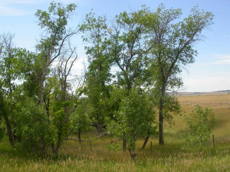 Green Ash trees. Photograph by Matt Lavin via Flickr.
