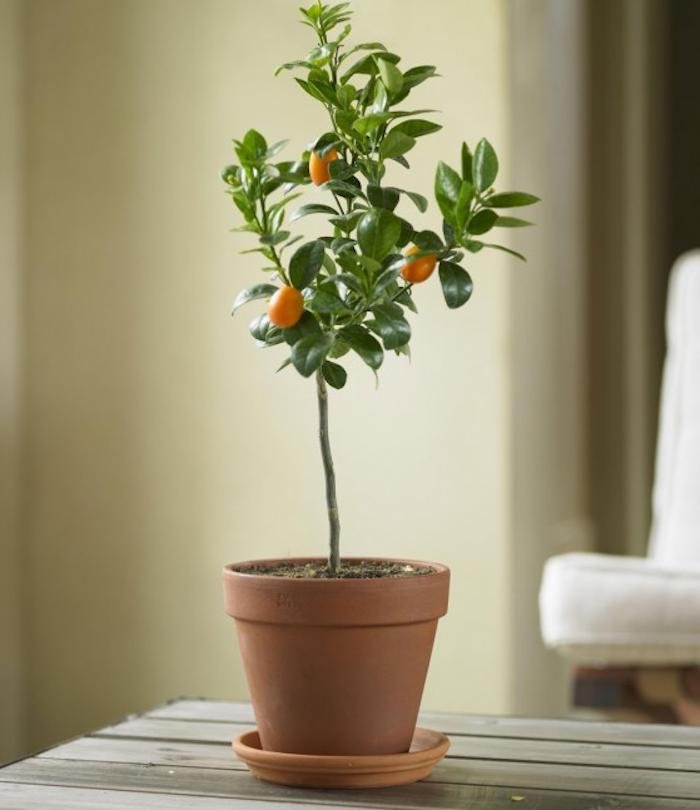 700_dwarf-orange-tree-viva-terra