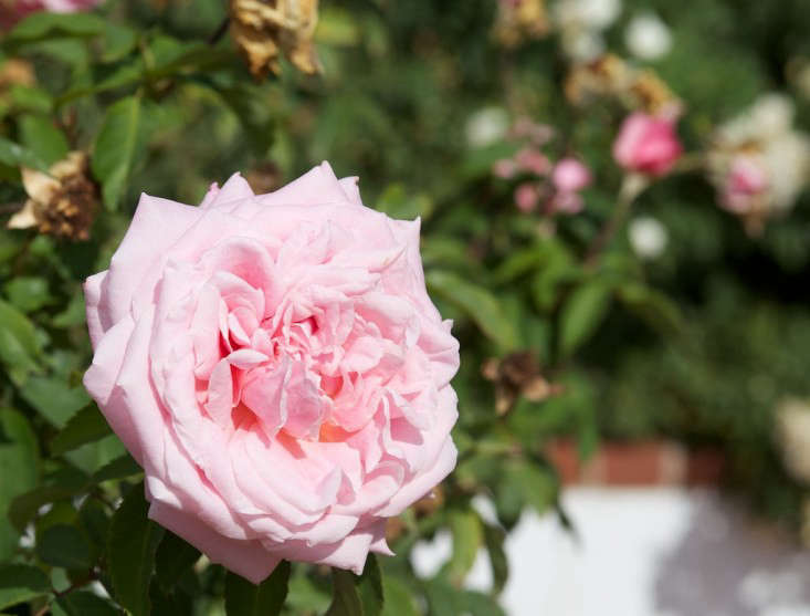 belindas-dream-rose-malcolm-manners-flickr-creative-commons-license