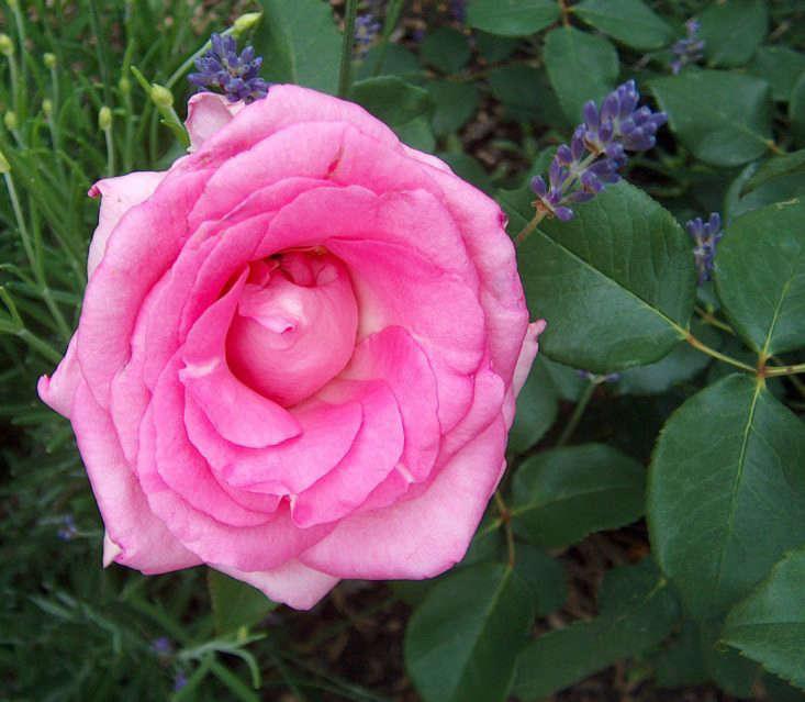 beverly-rose-markus-hagenlocher-wikimedia