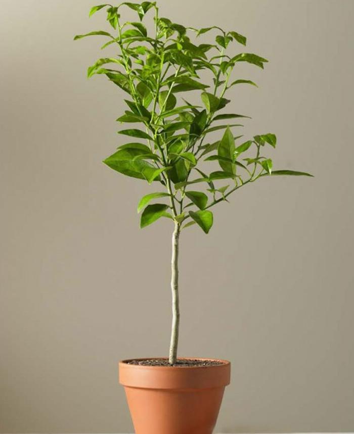 dwarf-lime-topiary-gardenista