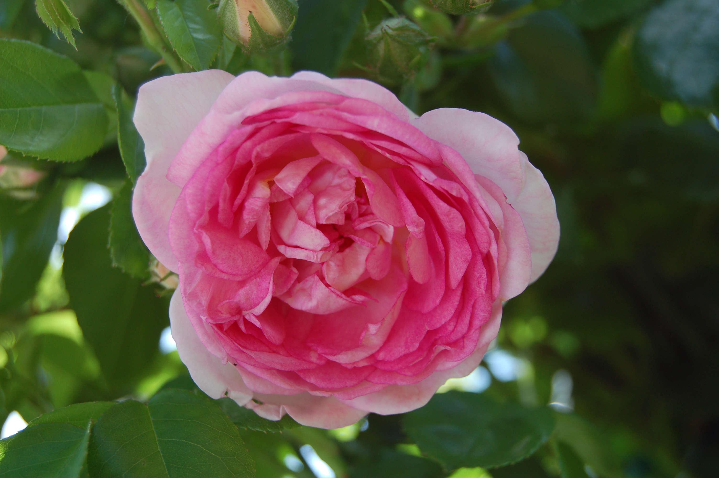 jasmina-climbing-rose-huhu-wikimedia