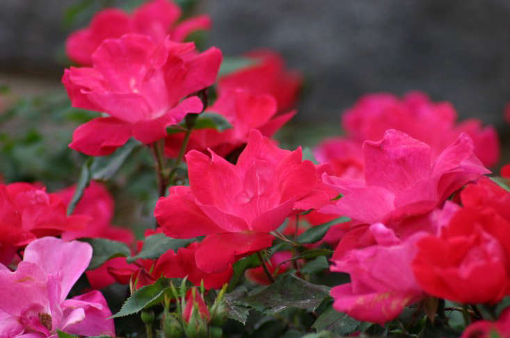 knock-out-rose-ryan-somma-flickr-creative-commons-license