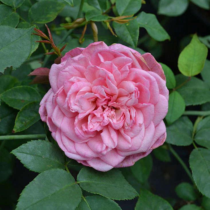 monsieur-tillier-rose-rosa-monticello