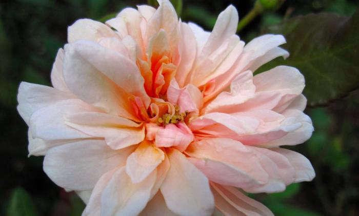 perl-dor-rose-brooklyn-botanic-garden