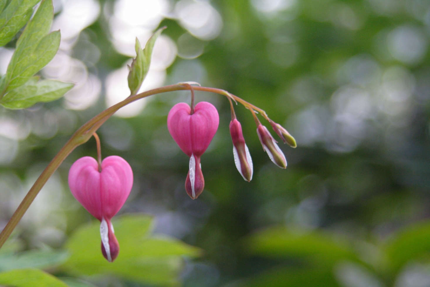 Dicentra spectabilis bleeding heart by K Yamad Flickr