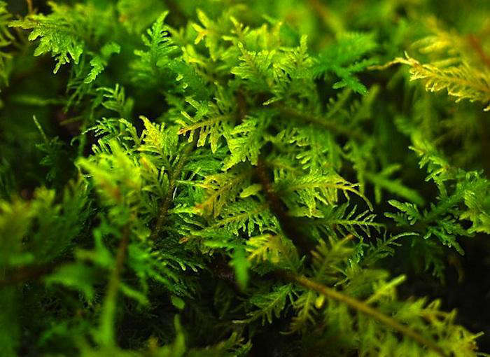 700_fern-moss-close-up
