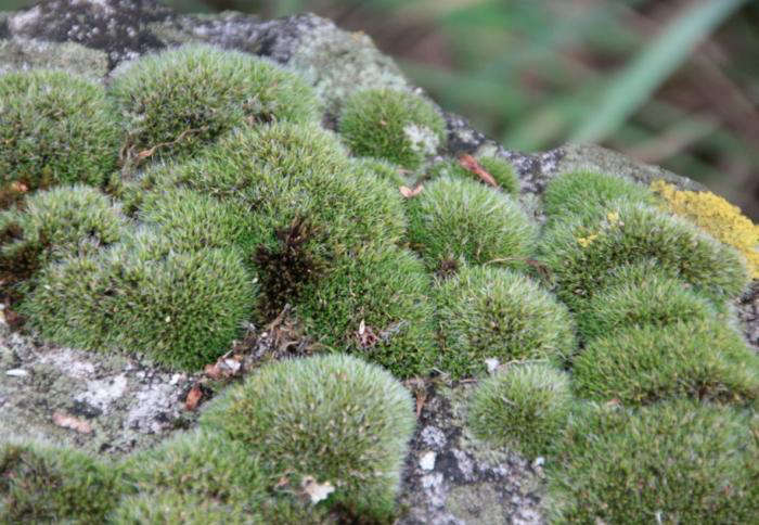 700_pin-cushion-moss