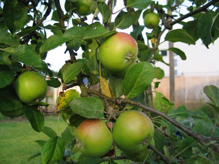 Apples, for pie. Photograph by Tobias Steinhoff via Flickr.