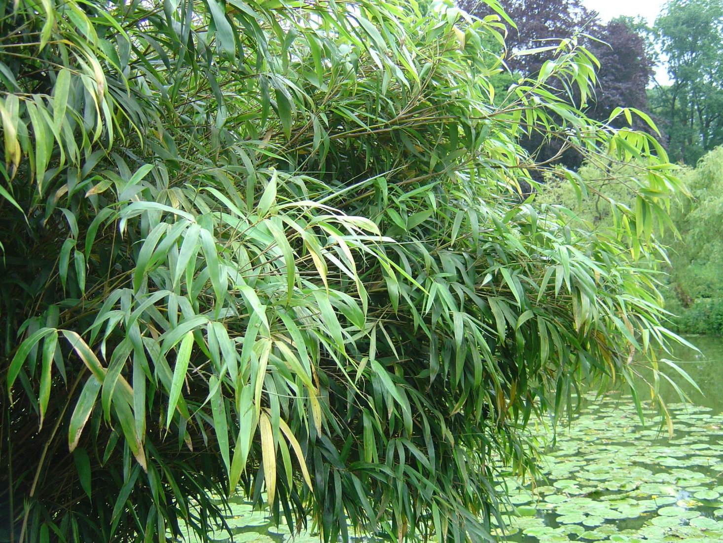 Fargesia nitida grows at the edge of a pond at a botanical garden in Münster, Germany. Photograph by Daniel J. Layton via Wikimedia.