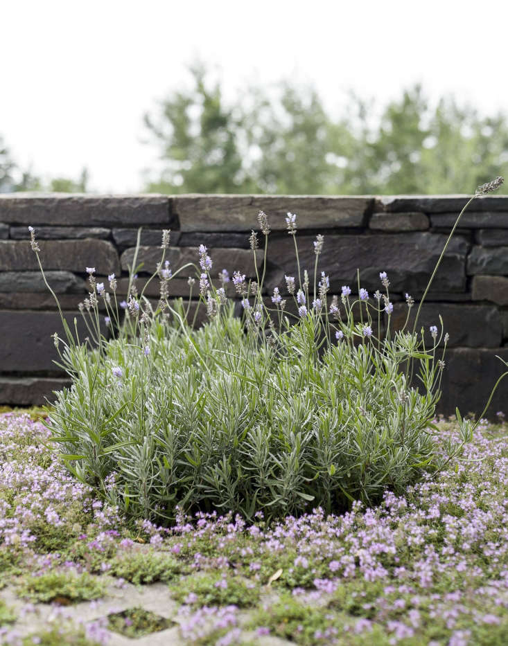 Flowering thyme and rosemary grow inGrasscrete concrete pavers on a patio that architectSteven Harris and landscape architect Lucien Rees Roberts built at their precisely detailed weekend retreat on a 50-acre swath of land in upstate New York. Photograph by Matthew Williams for Gardenista.