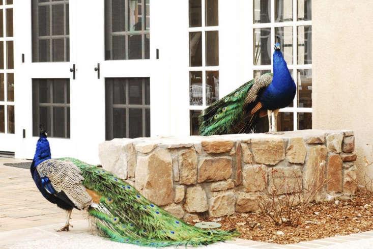 Los Poblanos Inn New Mexico peacocks
