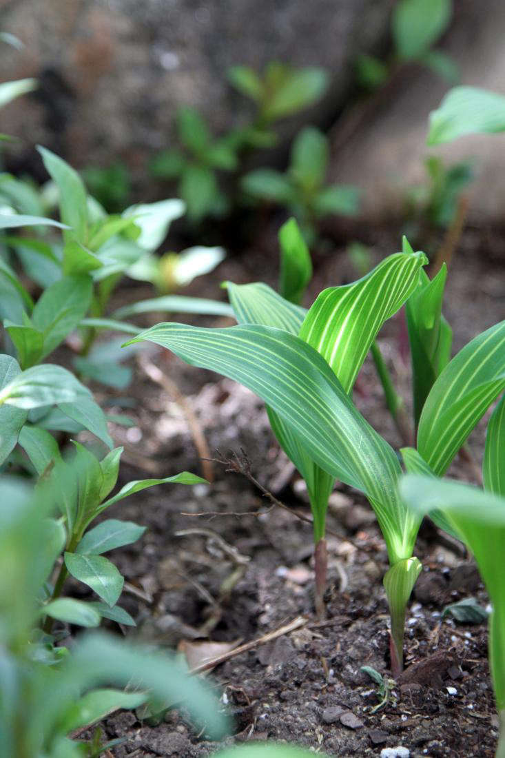 striped-lily-of-the-valley-variegated-leaf-gardenista