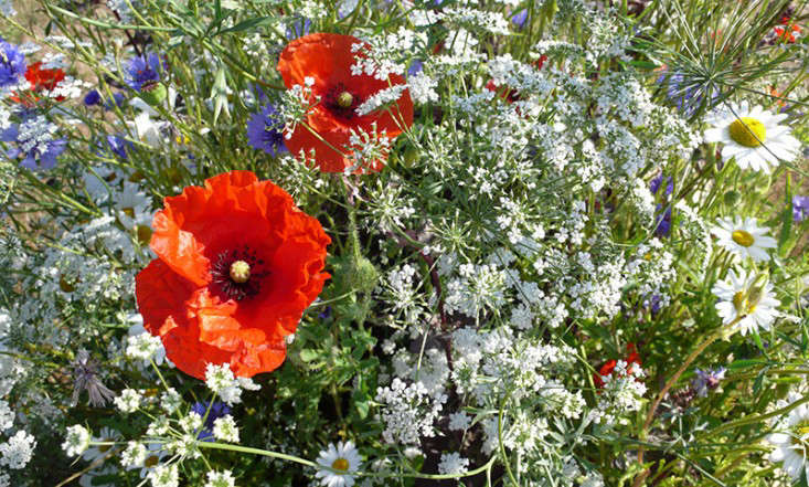 poppies-wildflowers-kendra-wilson-gardenista