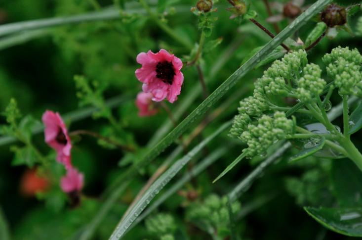 rotterdam-netherlands-roof-garden-pink-flower-astrid-holzer-gardenista