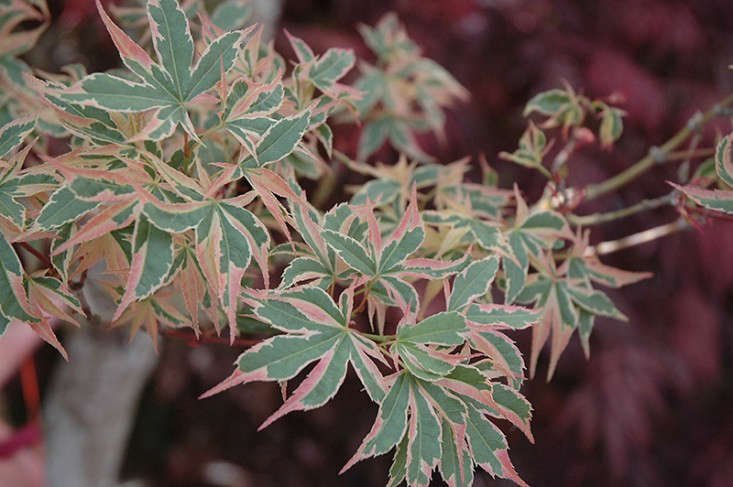 Japanese maples with variegated leavesincludeAcer Palmatum&#8\2\16;Beni Schichihenge&#8\2\17;, an upright variety that grows from \10 to \1\2 feet; available at Maple Ridge Nursery. Photograph via Connon Nurseries.