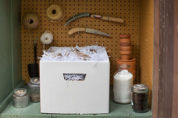 We packed layers of tubers in shredded paper in a cardboard box before storing it on a shelf in the garden shed.