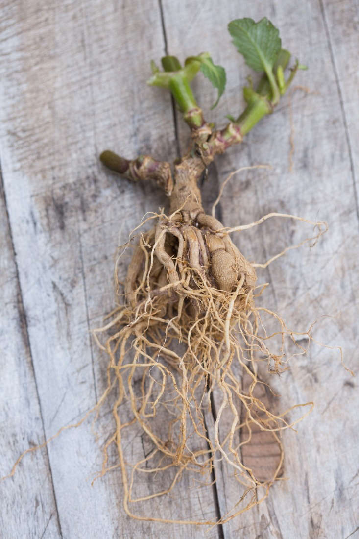 Be careful when you dig up dahlias because, as you can see, a single plant may have a clump of connected tubers and a far-reaching root system.