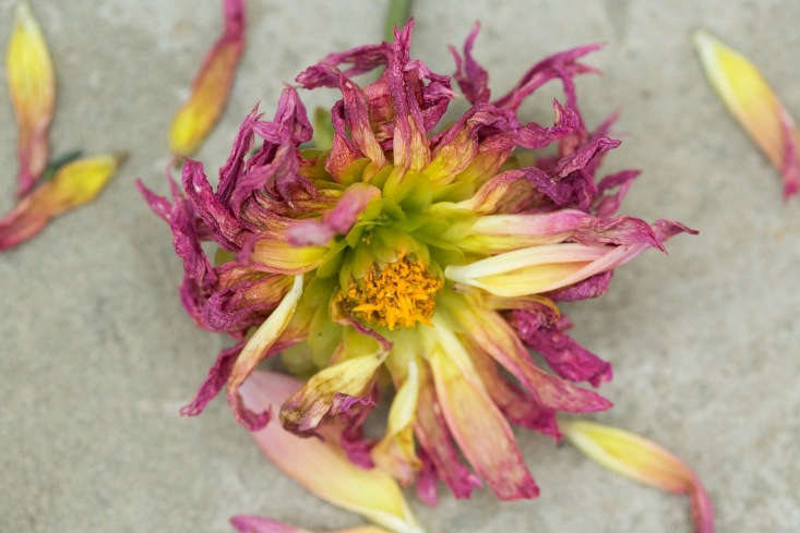 Dahlias will bloom well into autumn if you deadhead them to coax more flowers. But frost will put a stop to that.
