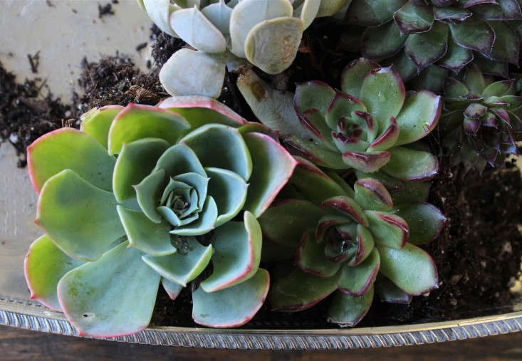 diy-succulents-silver-teapot-halloween-michelle-slatalla-5