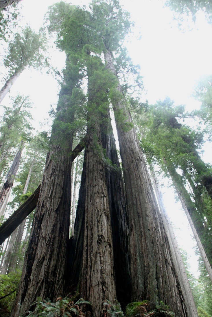 giant-sequoia-ancienttree-archive-1
