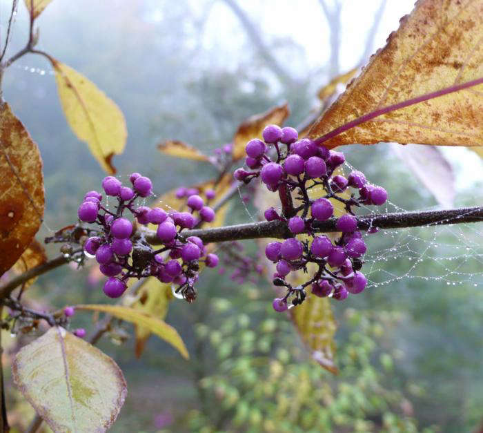 Also known as Beauty berry, Callicarpa bodinieri &#8