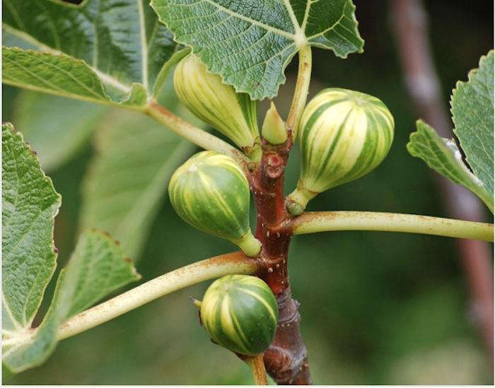 700_figs-star-apple-farms