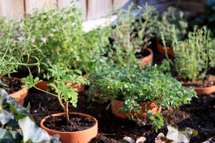 You can start a pot of thyme in any season, even in winter. See DIY: Reviving the Cold Frame. Photograph by Erin Boyle.