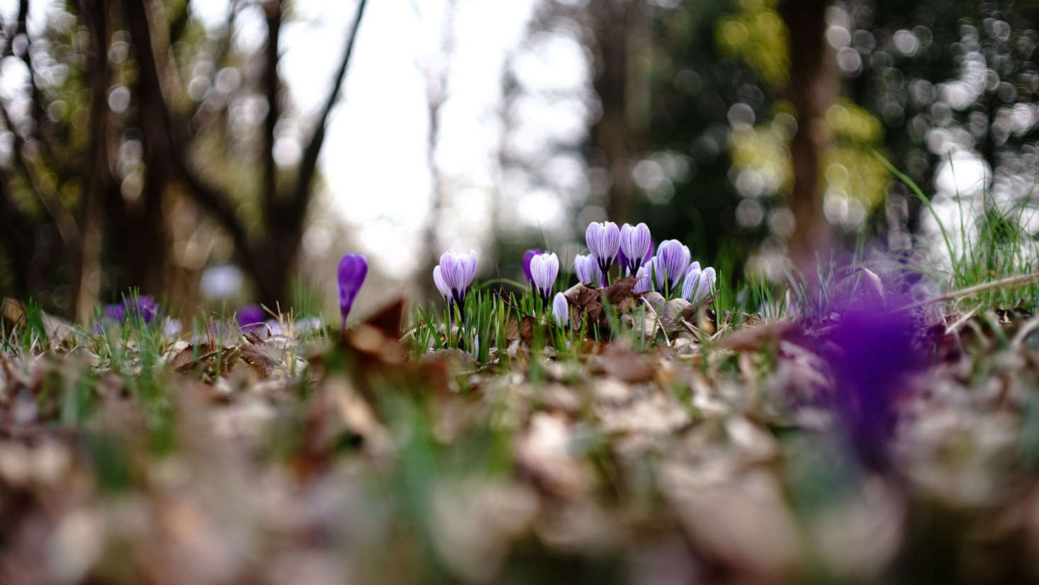 Most crocuses bloom in spring; plant their corms in the autumn in clumps of src=