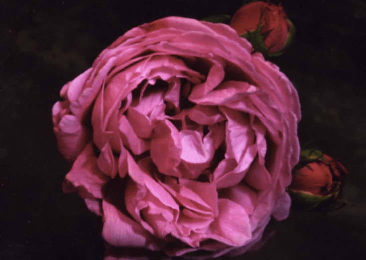 Rosa &#8\2\16;Madame Gabriel Luizet&#8\2\17; was introduced in \1877.