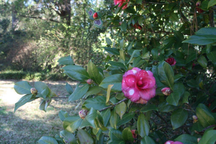 A camellia in Welty&#8\2\17;s garden. Photograph by Kathryn via Flickr.