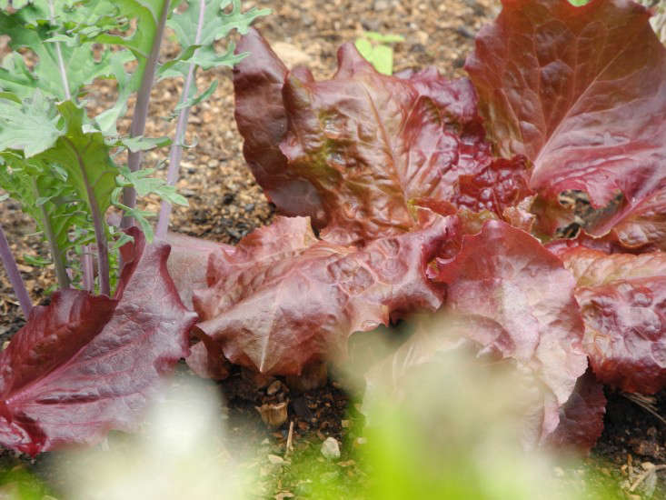 Red leaf lettuce. Photograph by Jeanne Rostaing for Gardenista.
