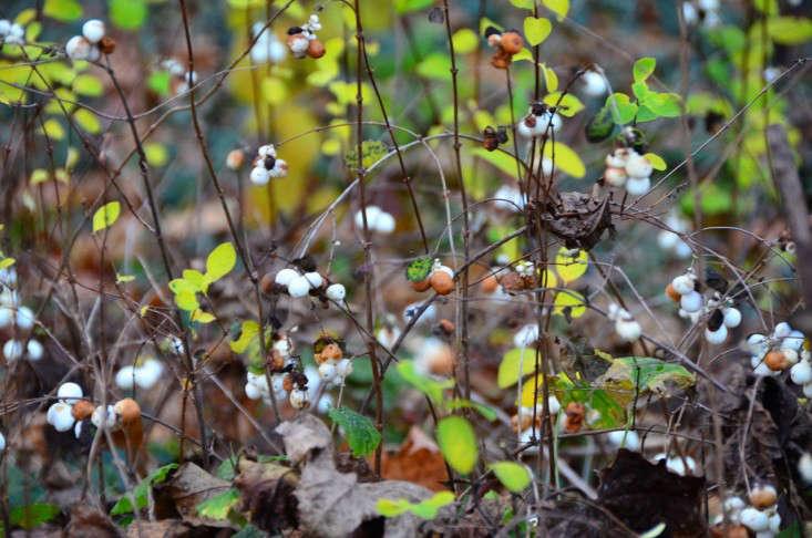Symphoricarpos-albus-snowberry-radio-tonreg