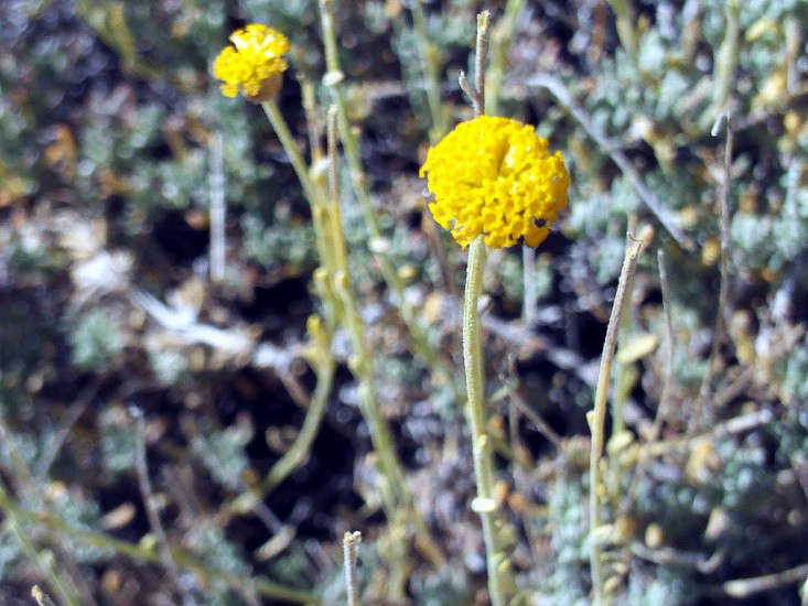 santolina-rosmarinifolia-javier-marin-wikimedia-