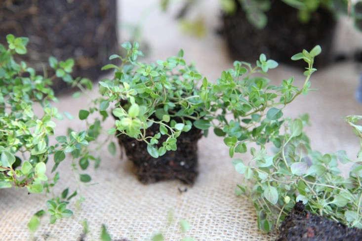 creeping-thyme-plants-meredith-swinehart