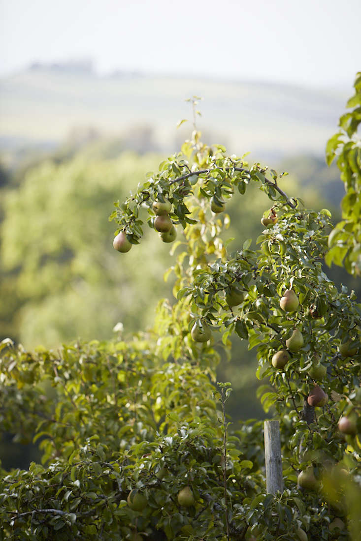 pear-fruit-sunny-branch-tree-britt-willoughby-dyer