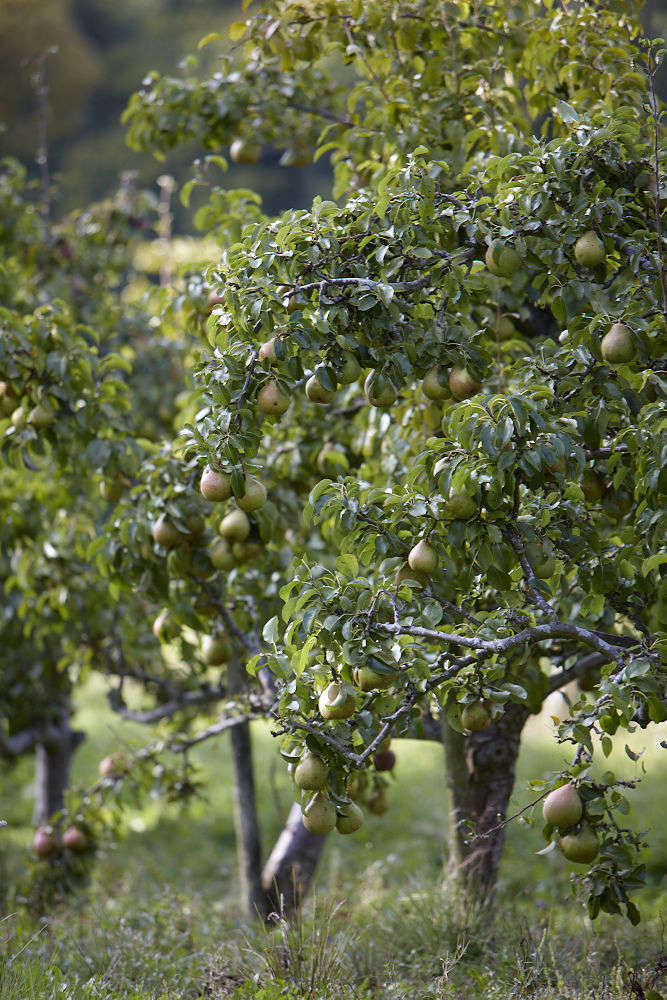 pear-tree-with-fruit-britt-willoughby-dyer