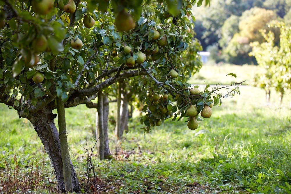 pear-trees-orchard-britt-willoughby-dyer-1