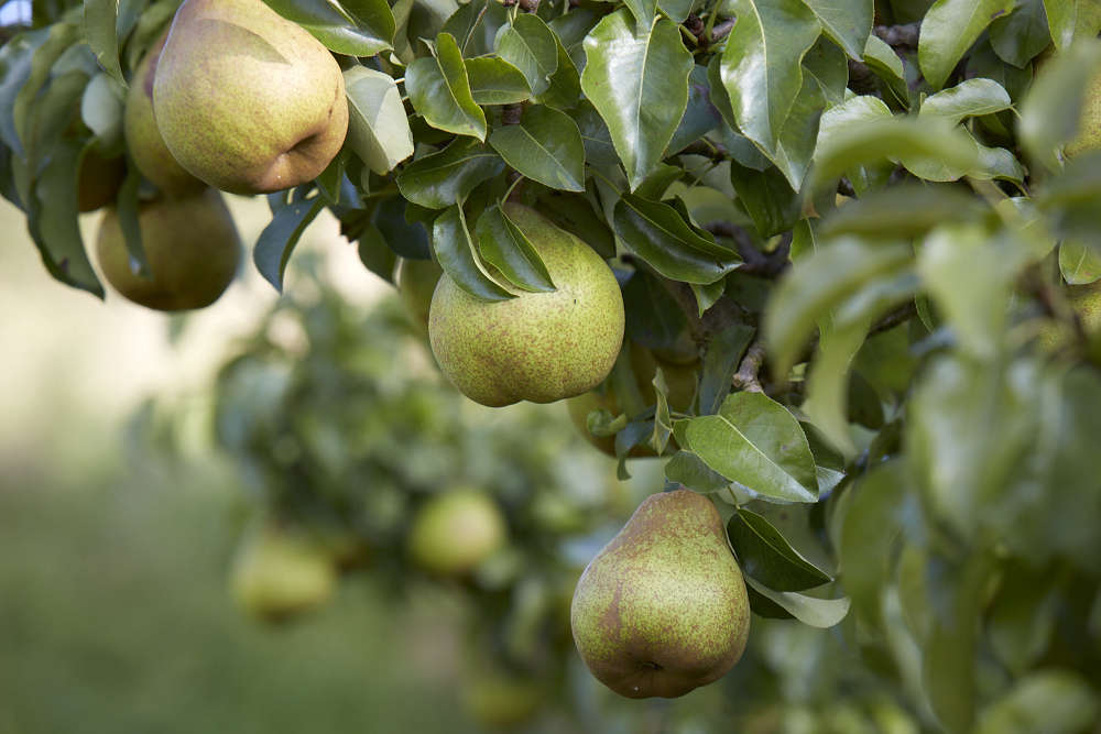 pears-on-tree-britt-willoughby-dyer