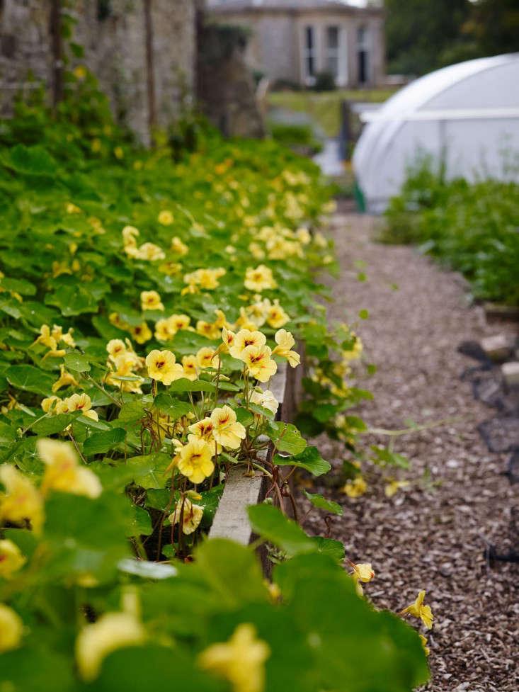 yellow-nasturtiums-kitchen-garden-experts