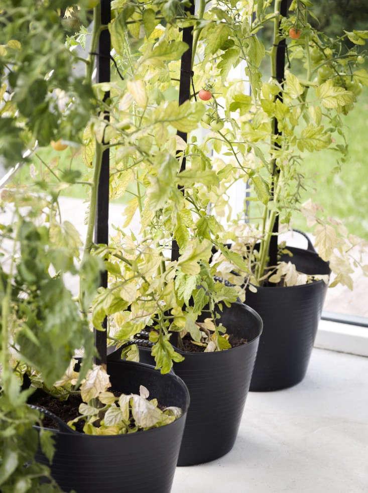 black-white-orangery-outbuilding-gardenista-tomato-plants