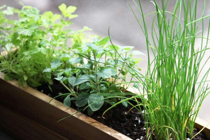 Windowsill herbs by Erin Boyle. For more, see DIY: Shade-Tolerant Windowsill Herbs.