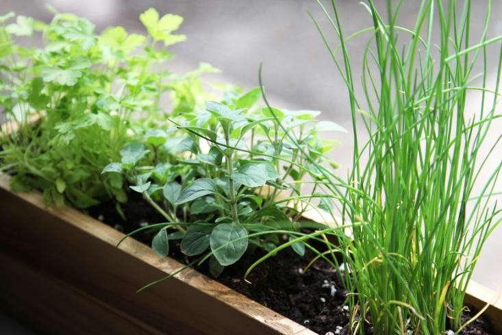 windowsill herbs by Erin Boyle